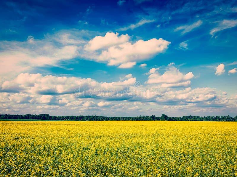 Vårsommarbakgrund - canolafält med blå himmel royaltyfri fotografi