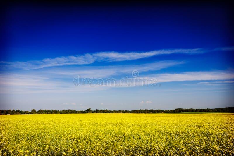 Vårsommarbakgrund våldtar fältet med blå himmel royaltyfria foton