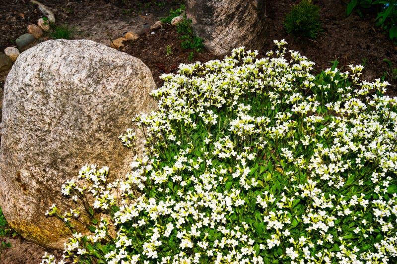 Vårspridning av vita blommor Aubrieta bland stora stenar royaltyfria bilder