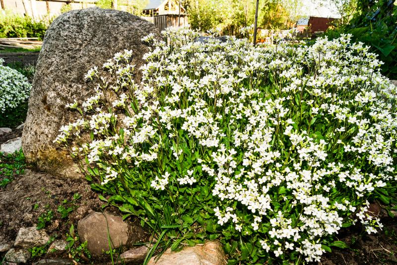 Vårspridning av vita blommor Aubrieta bland stora stenar arkivbild