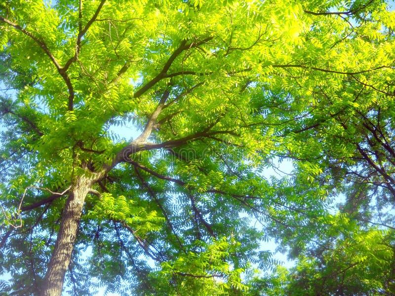 Vårsundance i trädblast arkivbild