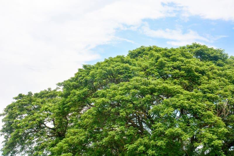 Vårtid, överkant av det stora trädet för Eastindian valnöt-, Raintree eller Samanea samangräsplan med bakgrund för blå himmel och fotografering för bildbyråer