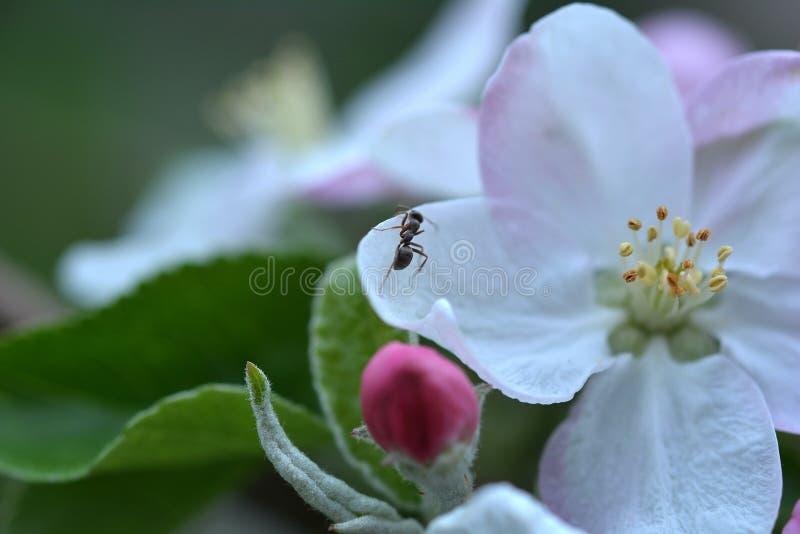 Vårtid, blomma och liten myra arkivbild
