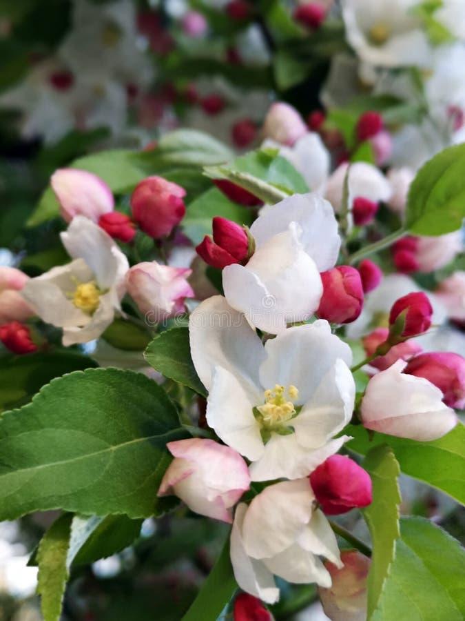Vårtid - filialer med blommor och knoppar arkivbild