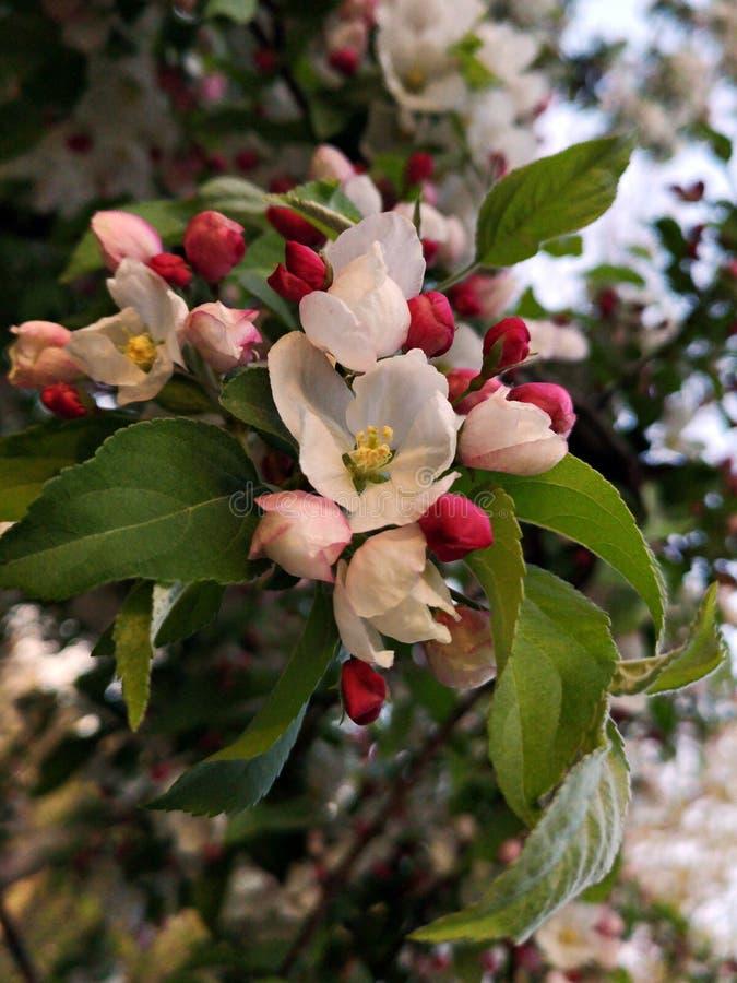 Vårtid - filialer med blommor och knoppar royaltyfria foton