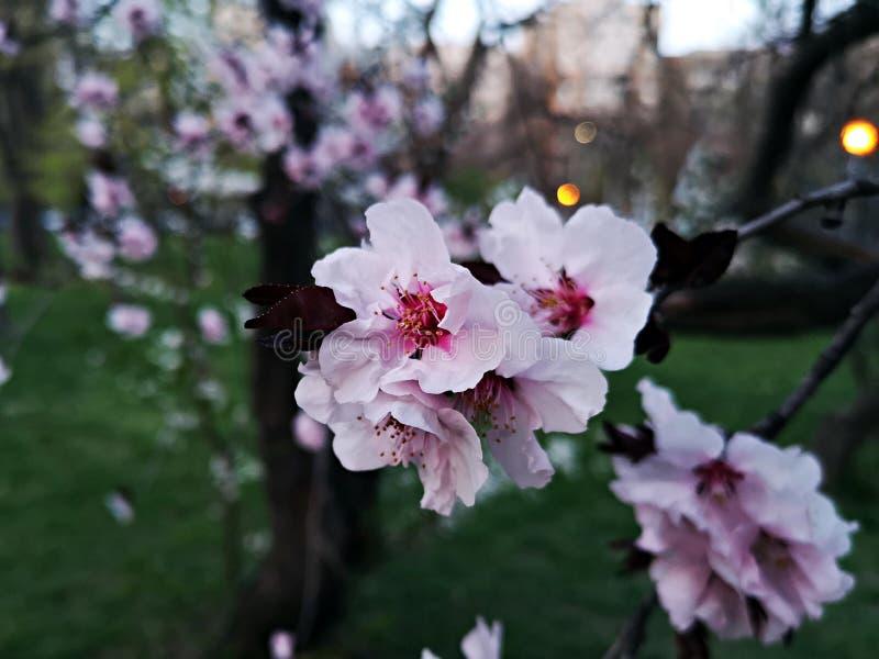 Vårtid - filialer med rosa blommor royaltyfri bild