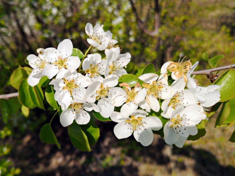 Vårtid - filialer med vita blommor fotografering för bildbyråer