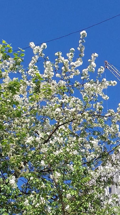 Vårtid och blomstrade träd Och denna härliga hägg gav dess angenäma arom arkivfoton