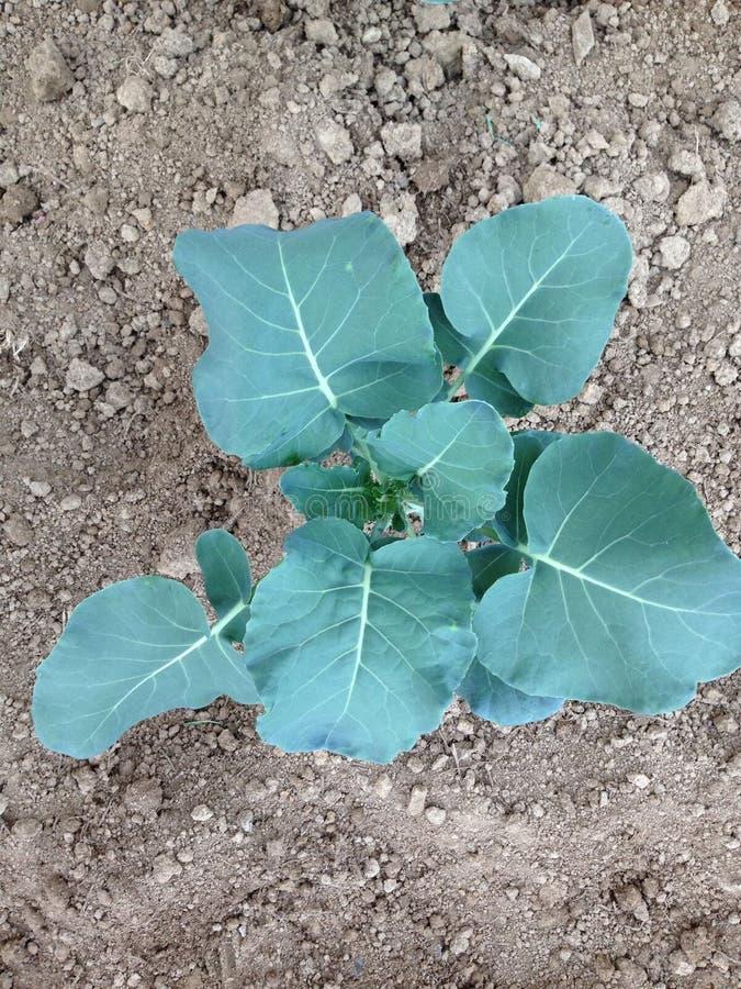 Vårtid och växande grönsaker royaltyfria foton