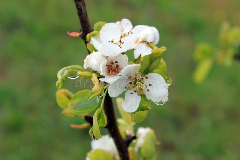 Vårtid - plommonblommor royaltyfria foton