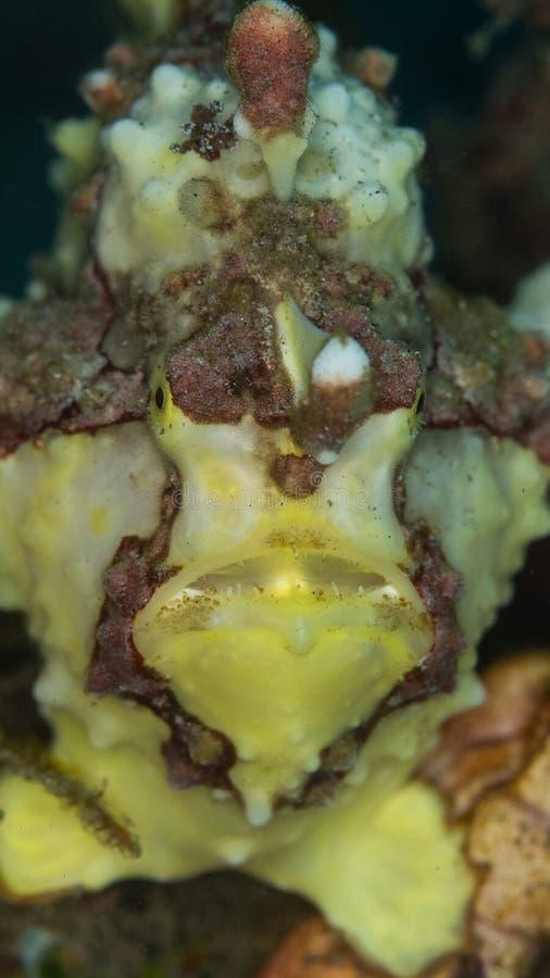 Vårtig frogfish, Antennarius maculatus Lembeh norr Sulawesi royaltyfria foton