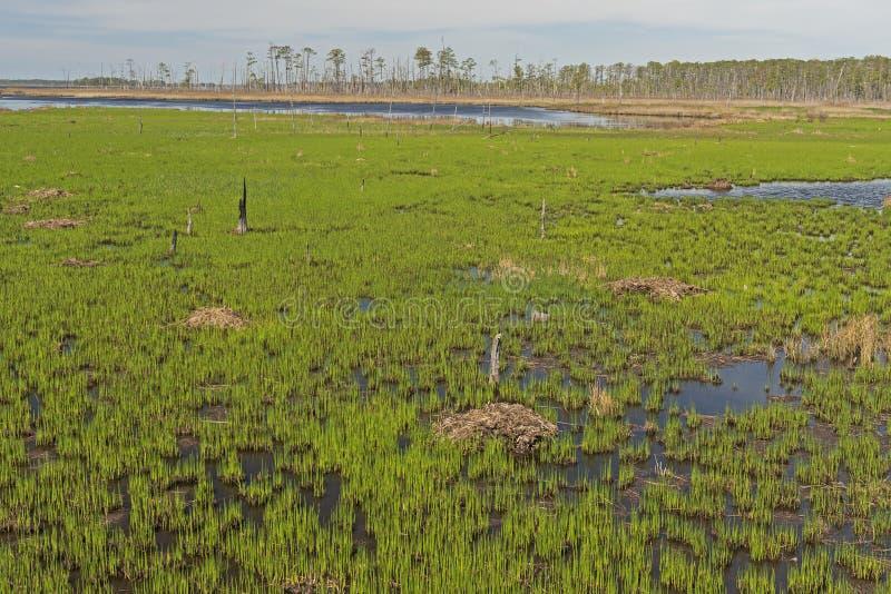 Vårtillväxt i våtmarkbreda flodmynningen arkivbilder
