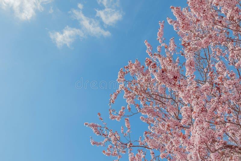 Vårträd med den rosa blommamandelblomningen på en filial på grön bakgrund, på blå himmel med dagligt ljus royaltyfri bild