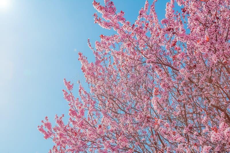 Vårträd med den rosa blommamandelblomningen på en filial på grön bakgrund, på blå himmel med dagligt ljus arkivbilder