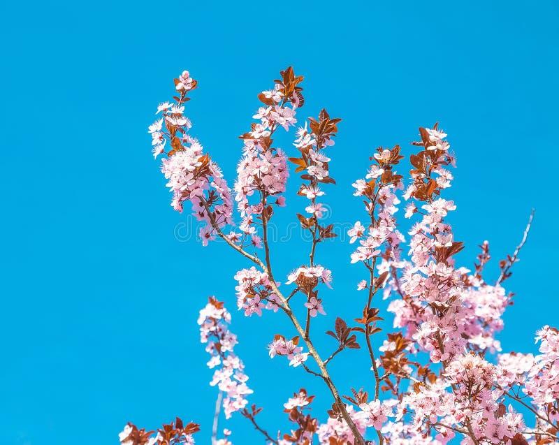 Vårträd med den rosa blommamandelblomningen på en filial på grön bakgrund, på blå himmel med dagligt ljus royaltyfria bilder
