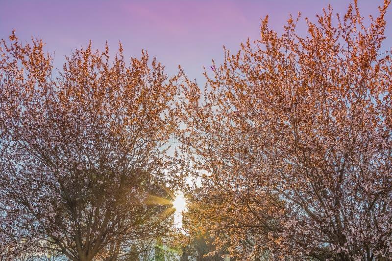 Vårträdet med den rosa blommamandelblomningen på en filial på grön bakgrund, på solnedgånghimmel med solen rays ljus arkivbild