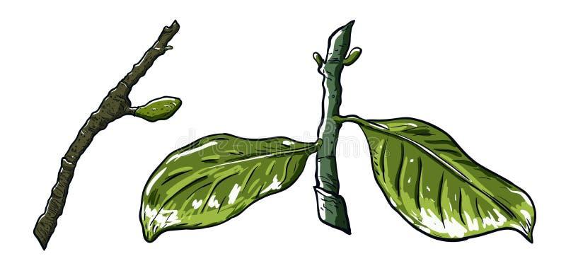 Vårträdfilial med knoppar och filial med sidor Dra vektorillustration, vit bakgrund vektor illustrationer
