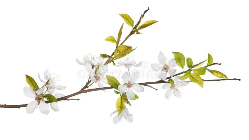 Vårträdfilial med ljusa blommor royaltyfria bilder