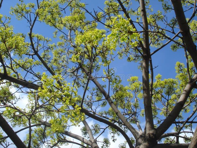 Vårträdfilialer med nya sidaknoppar arkivfoton