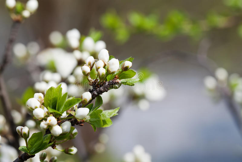 Vårträdgård, blommande trädlandskap Apple blommor, filial med knoppar och barngräsplansidor slapp fokus arkivbilder