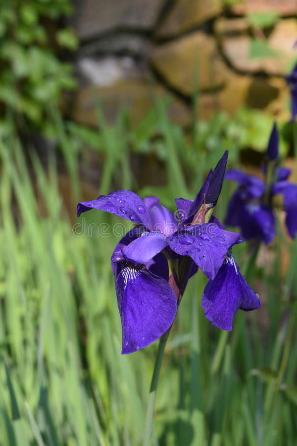 Vårträdgård med blomma för iriers för blomning purpurfärgat Siberian royaltyfria bilder