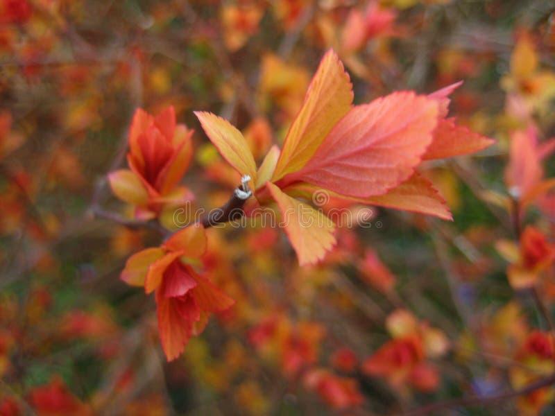 Vårträdgårdspirea Makro Apelsin arkivbild