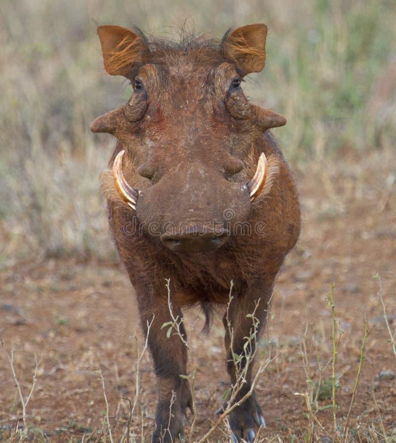 Vårtsvin - Kruger nationalpark fotografering för bildbyråer