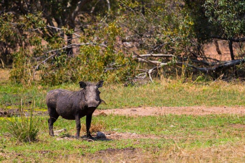 Vårtsvinet äter gräs i den Kruger naturreserven på en afrikansk safari i Oktober 2017 royaltyfri foto