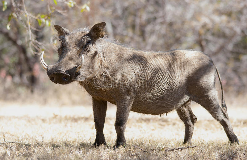 Vårtsvinet på torrt gräs i Kruger parkerar royaltyfri foto