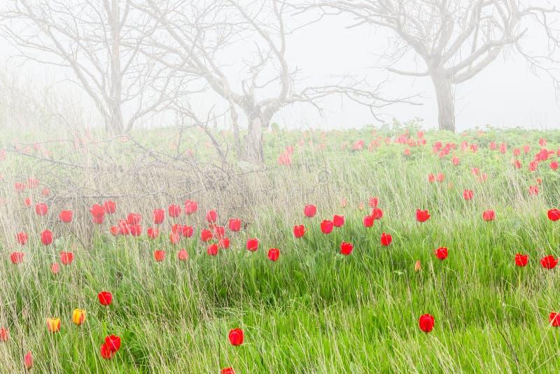 Vårtulpan i en wild pitch i dimma royaltyfria bilder