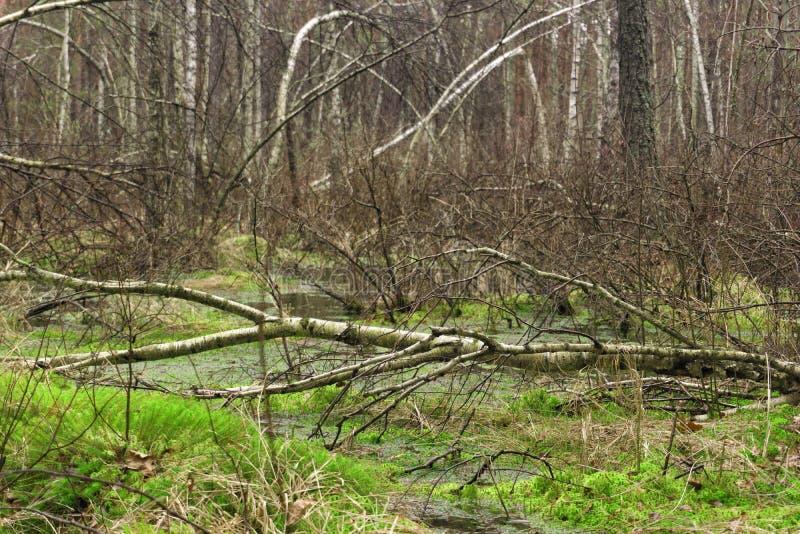 Våt blandad skog för vår med stående vatten och döda träd p royaltyfria foton