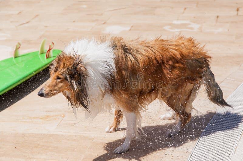 Våt colliehund som skakar av den near surfingbrädan arkivfoto