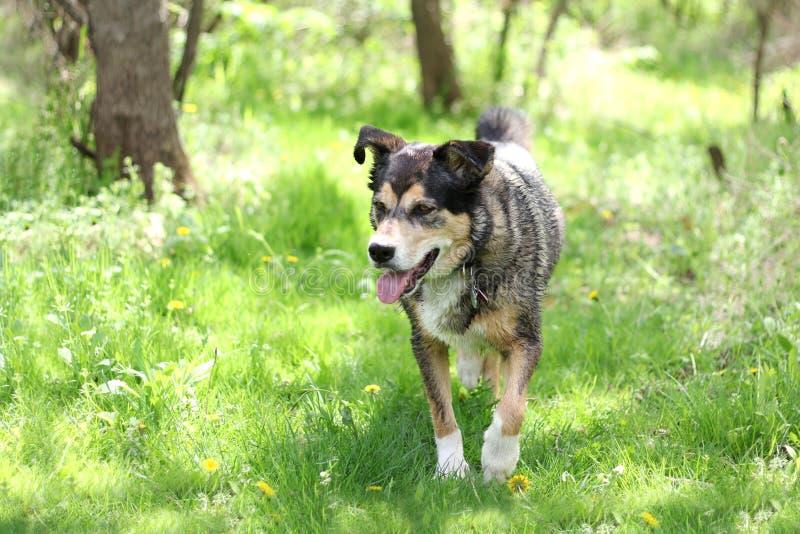 Våt hund som går till och med trän arkivbilder