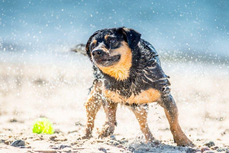 Våt hund som skakar nära havet royaltyfri foto