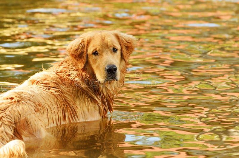 Våt hundsimning på ett vatten av en sjö royaltyfria foton