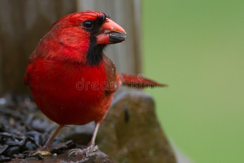 Våt kardinal arkivfoton
