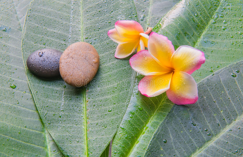 Våt plumeria och sten på grön bladbakgrund Begrepp för brunnsort royaltyfri bild