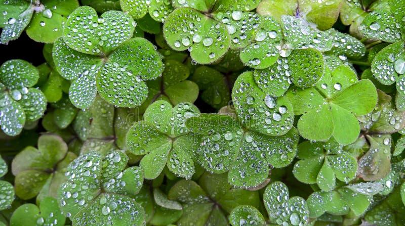 Våt växt av släktet Trifolium arkivbilder