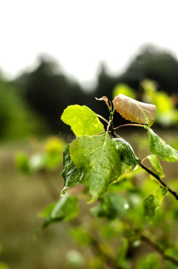Våta gröna sidor efter regnet arkivfoton