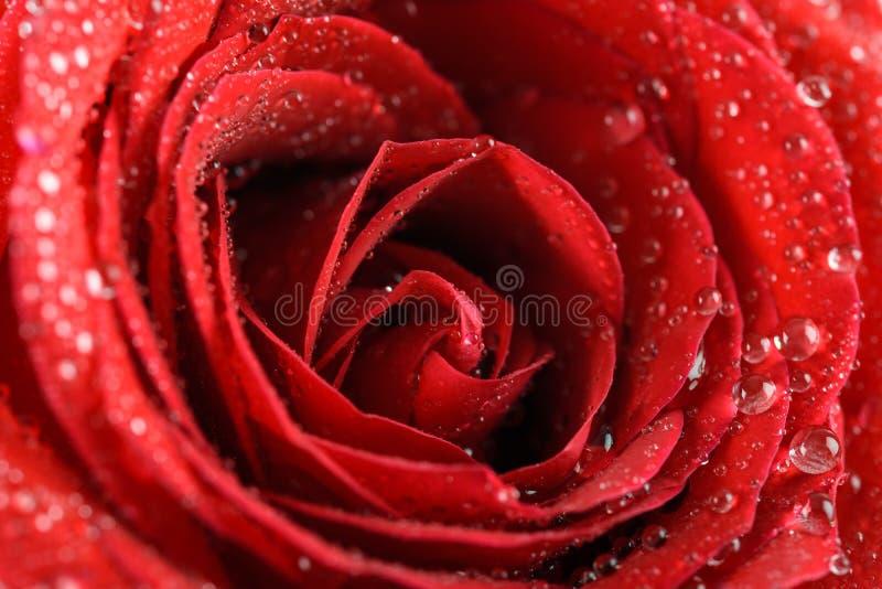 Våta röda Rose Close Up With Water droppar arkivbilder