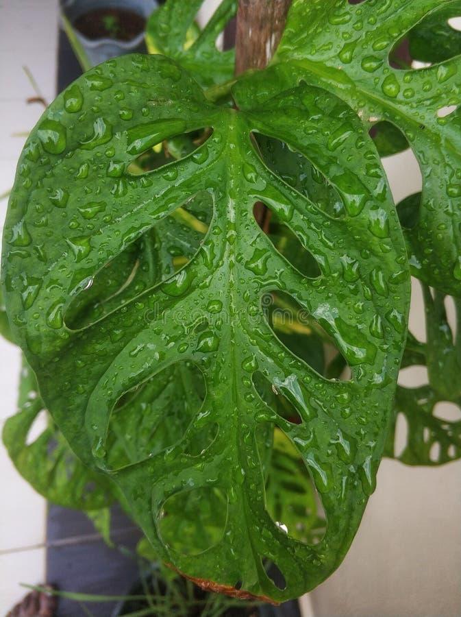 Våtgröna blad med vattendroppar royaltyfri bild