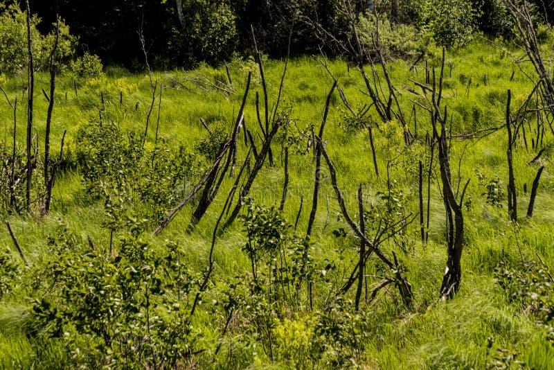 Våtmark i nordliga Wisconsin royaltyfri foto