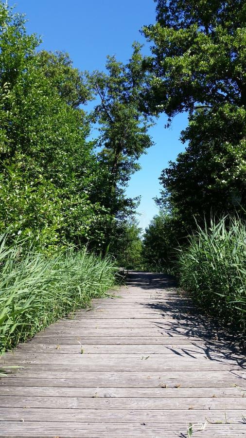 Våtmark och träbro med unga vasser fotografering för bildbyråer