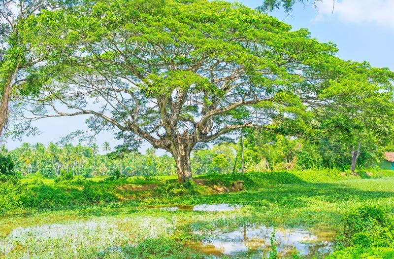 Våtmarkerna av Sri Lanka arkivbild