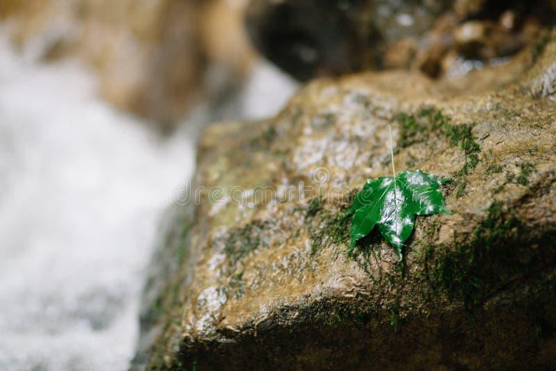 Vått blad av ett träd på en våt flodsten På munnen av en bergflod Våta bakgrund och texturer vaggar royaltyfria foton