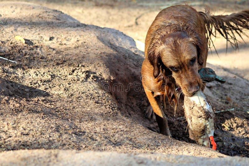 Vått hämta för golden retrieverhund arkivfoton