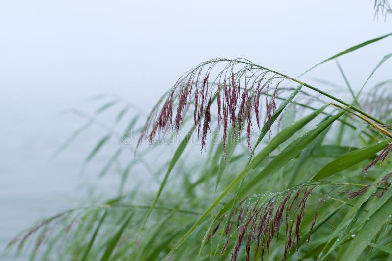 Vått vassgräs på dimmig morgon royaltyfri foto