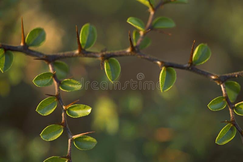 Végétation épineuse à un paysage de rocher dans Karnataka image libre de droits