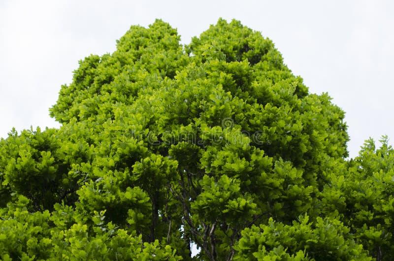 Végétation de chêne photo stock