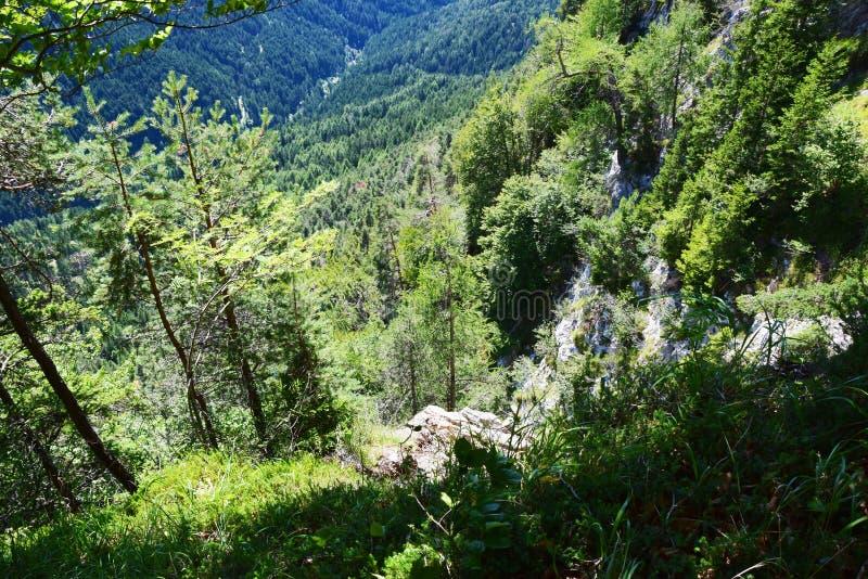 Végétation forestière dans Cadore, montagnes de Dolomity, Italie image libre de droits